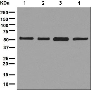 Western blot - Anti-VPS4B/MIG1 antibody [EPR9225] - BSA and Azide free (ab248775)