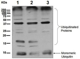 Western blot - Anti-Ubiquitin antibody [EPR8589] - BSA and Azide free (ab248778)