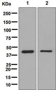Western blot - Anti-FECH antibody [EPR8312] - BSA and Azide free (ab248783)