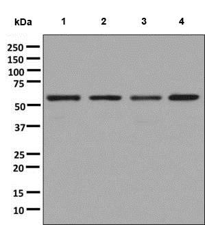 Western blot - Anti-TOE1 antibody [EPR9285] - BSA and Azide free (ab248792)
