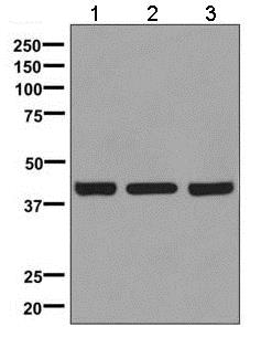 Western blot - Anti-TROY antibody [EPR3214(2)] - BSA and Azide free (ab248805)