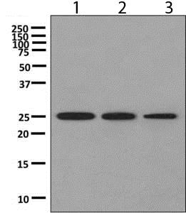 Western blot - Anti-PSMB4 antibody [EPR9397] - BSA and Azide free (ab248810)