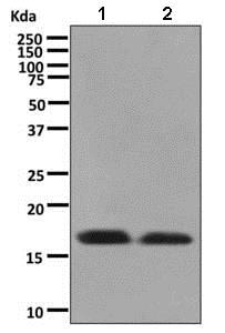 Western blot - Anti-Cardiac Troponin C antibody [EPR9692(B)] - BSA and Azide free (ab248838)