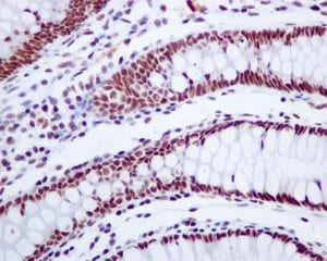 Immunohistochemistry (Formalin/PFA-fixed paraffin-embedded sections) - Anti-CSTF2T antibody [EPR8924] - BSA and Azide free (ab248842)