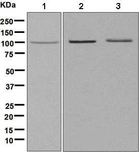 Western blot - Anti-EHM2 antibody [EP6191] - BSA and Azide free (ab248843)