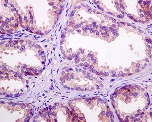 Immunohistochemistry (Formalin/PFA-fixed paraffin-embedded sections) - Anti-TROY antibody [EPR3213(2)] - BSA and Azide free (ab248851)