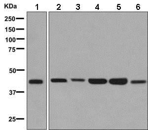 Western blot - Anti-TROY antibody [EPR3213(2)] - BSA and Azide free (ab248851)