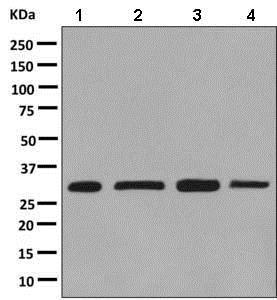 Western blot - Anti-DjC8 antibody [EPR9069] - BSA and Azide free (ab248853)