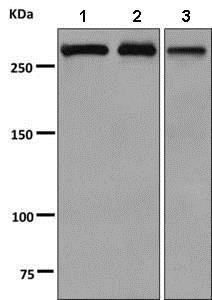 Western blot - Anti-alpha 1 Spectrin antibody [EPR9300] - BSA and Azide free (ab248875)