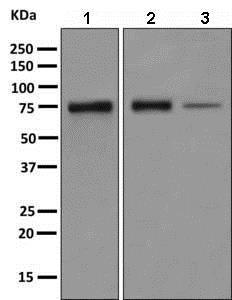 Western blot - Anti-PPWD1 antibody [EPR7439] - BSA and Azide free (ab248938)
