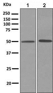 Western blot - Anti-CYP2C9 antibody [EPR7340] - BSA and Azide free (ab248942)
