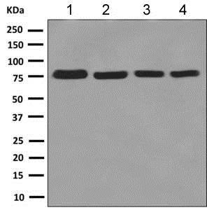 Western blot - Anti-KHSRP antibody [EPR9864] - BSA and Azide free (ab248962)