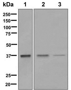 Western blot - Anti-Aldolase antibody [EPR9725] - BSA and Azide free (ab248965)