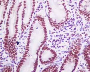 Immunohistochemistry (Formalin/PFA-fixed paraffin-embedded sections) - Anti-HDAC1 antibody [EPR5517(2)] - BSA and Azide free (ab248968)