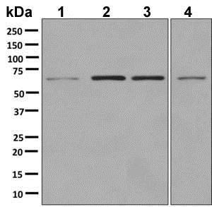 Western blot - Anti-HDAC1 antibody [EPR5517(2)] - BSA and Azide free (ab248968)