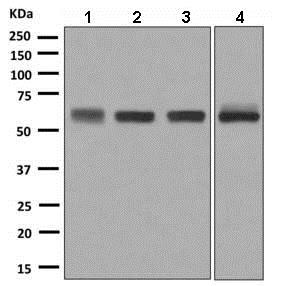 Western blot - Anti-CPM antibody [EPR8052] - BSA and Azide free (ab248972)