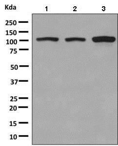 Western blot - Anti-KIF5B antibody [EPR10277(B)] - BSA and Azide free (ab249004)