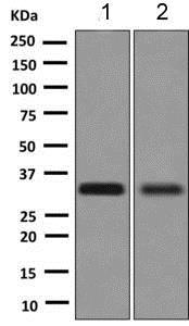 Western blot - Anti-MEST antibody [EPR6970(2)] - BSA and Azide free (ab249008)