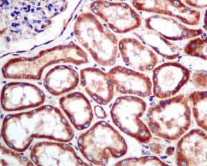 Immunohistochemistry (Formalin/PFA-fixed paraffin-embedded sections) - Anti-MRPS16 antibody [EPR8835] - BSA and Azide free (ab249017)