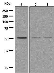 Western blot - Anti-NUCB1 antibody [EPR7953] - BSA and Azide free (ab249026)