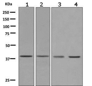 Western blot - Anti-PRAS40 antibody [EPR6263(2)] - BSA and Azide free (ab249037)