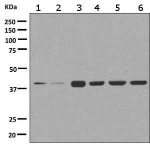 Western blot - Anti-AIBZIP antibody [EPR7382] - BSA and Azide free (ab249051)