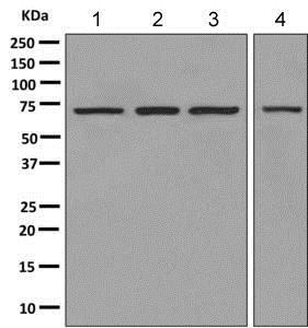 Western blot - Anti-PGM2 antibody [EPR10393(B)] - BSA and Azide free (ab249059)
