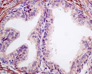 Immunohistochemistry (Formalin/PFA-fixed paraffin-embedded sections) - Anti-MGT4A antibody [EPR10034] - BSA and Azide free (ab249062)