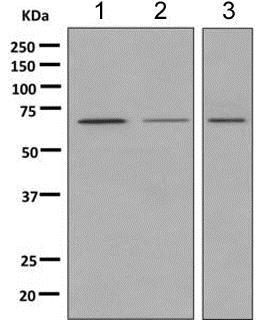 Western blot - Anti-MGT4A antibody [EPR10034] - BSA and Azide free (ab249062)