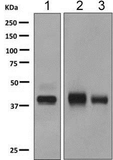 Western blot - Anti-HPR antibody [EPR9829] - BSA and Azide free (ab249064)