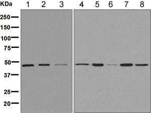 Western blot - Anti-Wnt6 antibody [EPR9244] - BSA and Azide free (ab249068)