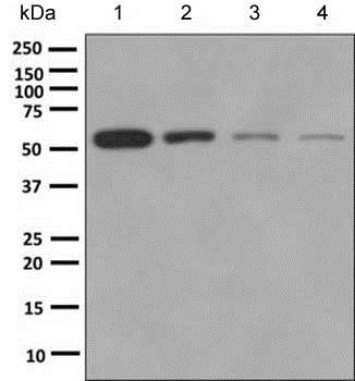 Western blot - Anti-ETV3 antibody [EPR8658] - BSA and Azide free (ab249117)
