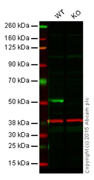 Western blot - Anti-PTEN antibody [EPR9941] - BSA and Azide free (ab249119)