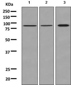 Western blot - Anti-Tbx3 antibody [EPR10366(B)] - BSA and Azide free (ab249134)