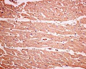Immunohistochemistry (Formalin/PFA-fixed paraffin-embedded sections) - Anti-GNB3 antibody [EPR8862] - BSA and Azide free (ab249165)