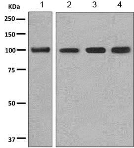 Western blot - Anti-PHF11 antibody [EPR10910] - BSA and Azide free (ab249173)