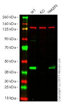 Western blot - Anti-PDHA1 antibody [EPR11099] - BSA and Azide free (ab249188)