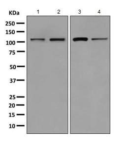 Western blot - Anti-AlaRS antibody [EPR11037(B)] - BSA and Azide free (ab249194)