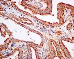 Immunohistochemistry (Formalin/PFA-fixed paraffin-embedded sections) - Anti-TPMT antibody [EPR10820(B)] - BSA and Azide free (ab249198)