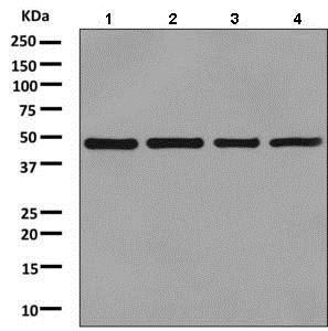 Western blot - Anti-ENO1 antibody [EPR10864(B)] - BSA and Azide free (ab249210)