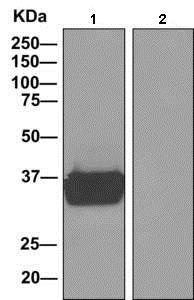 Immunoprecipitation - Anti-MAS1L antibody [EPR11440(B)] - BSA and Azide free (ab249257)