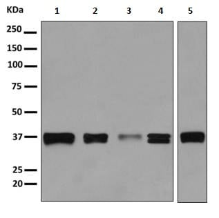 Western blot - Anti-MAS1L antibody [EPR11440(B)] - BSA and Azide free (ab249257)