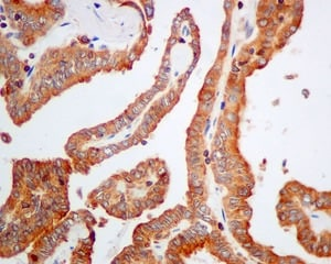 Immunohistochemistry (Formalin/PFA-fixed paraffin-embedded sections) - Anti-DHRS7 antibody [EPR9339(B)] - BSA and Azide free (ab249260)