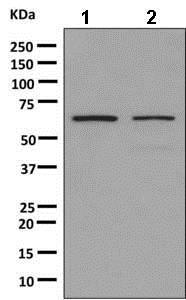 Western blot - Anti-hnRNP K antibody [EPR10933] - BSA and Azide free (ab249265)