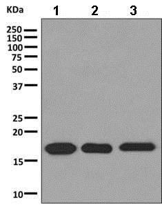 Western blot - Anti-C1orf41 antibody [EPR10636] - BSA and Azide free (ab249267)