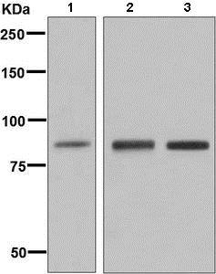 Western blot - Anti-GCSF Receptor antibody [EPR8957] - BSA and Azide free (ab249289)