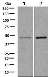 Western blot - Anti-TPST2 antibody [EPR10569] - BSA and Azide free (ab249299)