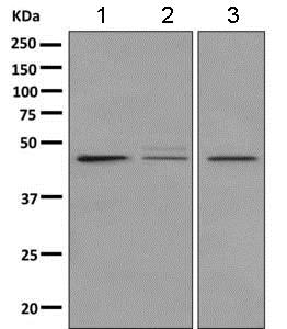 Western blot - Anti-GPCR GPR1 antibody [EPR11008] - BSA and Azide free (ab249312)