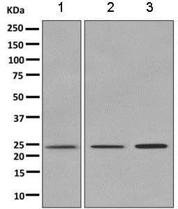 Western blot - Anti-Ran antibody [EPR10790(B)] - BSA and Azide free (ab249315)