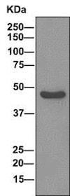 Western blot - Anti-ENO3 antibody [EPR11366(B)] - BSA and Azide free (ab249337)